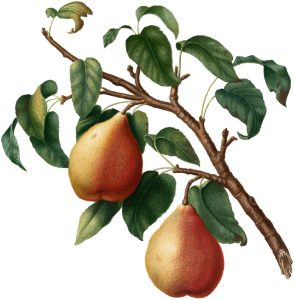 vintage picture of ripe pears on a branch