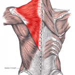 big muscle at the top of the back - the Trapezius