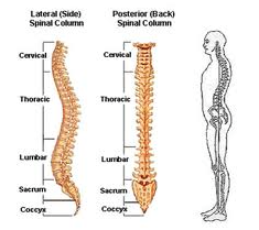 a diagram of the spine side on and from the back showing the shape and regions of the spine: cervical, thoracic, lumbar, pelvic