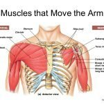 Picture of the deep and superficial muscles at the front of the chest and shoulders