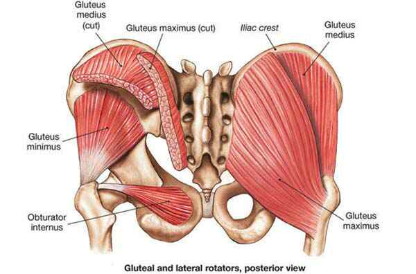 picture of the gluteal muscles and where they attach to the pelvis, and one lateral rotator: obturator internus